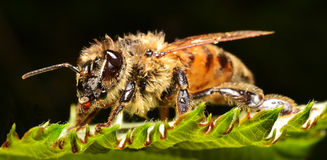 The beauty of a bee Royalty Free Stock Photography