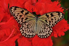 Butterfly on red hibiscus flower. The macro shot of a white and black butterfly on hibiscus flower Royalty Free Stock Photo