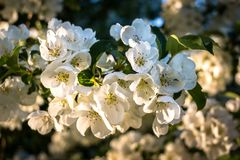 Macro Shot of White Cherry Blossoms in Spring Sunshine stock photo