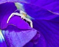 Macro shot of a white crab spider Stock Photo