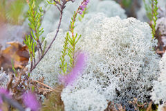 Macro shot of white reindeer moss Stock Photos