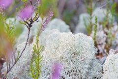 Macro shot of white reindeer moss Royalty Free Stock Photos