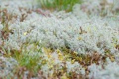 Macro shot of white reindeer moss. Shallow depth of field Stock Image