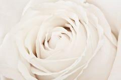 Macro shot of white rose Stock Photo