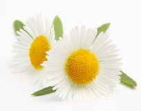 Macro shot of wild camomiles Royalty Free Stock Photography