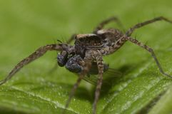 A macro shot of a wolf spider, Lycosidae, eating a fly. A macro shot of a wolf spider, Lycosidae, sitting on a leaf and eating a fly stock images