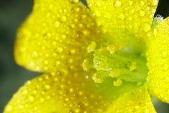 Macro Yellow Flower Royalty Free Stock Photos