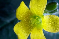 Macro Yellow Flower Royalty Free Stock Image