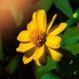 Macro shot yellow flower on black background. Selective focus royalty free stock image