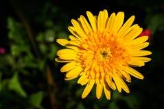 Macro Shot of Yellow Gerbera Flower. Background Stock Photo