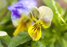 Dewy Yellow Johnny Jump Up Stock Photo