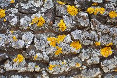 Macro shot of a yellow lichen on a tree. Stock Photo