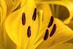 Macro shot of a yellow lilium pollen Royalty Free Stock Images