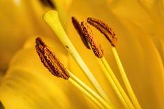 Macro shot of a yellow lilium Stock Photography
