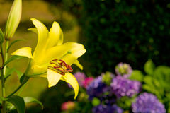 Macro shot of a yellow oriental lily bloom. Royalty Free Stock Images