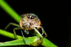 Macro spider. Macro shot of a yellow spider on a green stem Royalty Free Stock Photo