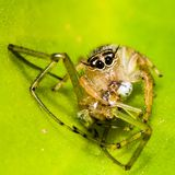 Macro spider. Macro shot of a yellow spider on a green stem Royalty Free Stock Image