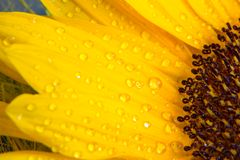 Macro shot of yellow sunflower bloom with drops of water Stock Photo