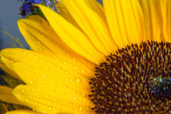 Macro shot of yellow sunflower bloom with water Royalty Free Stock Photo