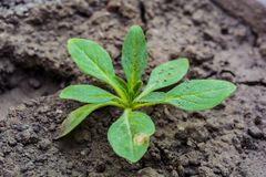Macro Shot Of Young Petunia Plant stock photography