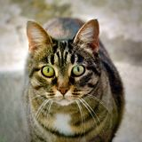 A macro shot of a young tabby cat`s face. Royalty Free Stock Image