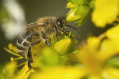Macro side shot of bee Stock Photography