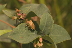 Macro side view of Brown Stink Bug. Stock Photography