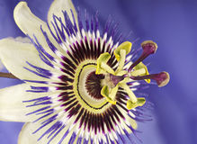 Macro of single passion flower Stock Photography