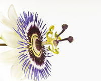 Macro of single passion flower Royalty Free Stock Photography