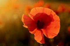 Single poppy ot colorful background Royalty Free Stock Photos