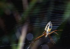 Under view of spider on web royalty free stock photo