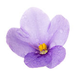 Macro single violet flower with dew drops isolated on white Stock Images
