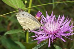 Macro sitting on a flower cornflower butterfly lambs Pieridae Ar. Macro sitting on a flower of a white and purple cornflower butterfly Pieriae Artogeia napi of stock image