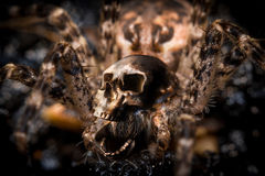 Macro Skull Spider. Extreme close up macro shot of a large wolf spider with human skull Royalty Free Stock Photography