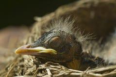 Macro Sleeping Baby Robin Stock Image