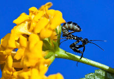 Macro Small black praying mantis on yellow flower Royalty Free Stock Image