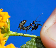 Macro Small black praying mantis on yellow flower Royalty Free Stock Images
