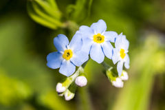 Macro of small blue forest flowers Stock Image