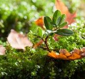 Macro of small cowberry shrub Royalty Free Stock Photo