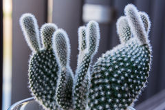 Macro Small Fuzzy Cactus Decoration Royalty Free Stock Image