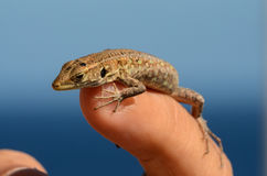 Macro of Small Lizard Stock Photos