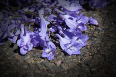 Macro of small purple jacaranda flowers lying on tar road Royalty Free Stock Photos
