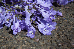 Macro of small purple jacaranda flowers lying on tar road Stock Image