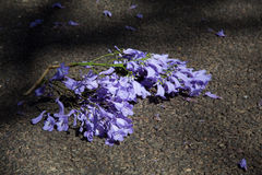 Macro of small purple jacaranda flowers lying on tar road Royalty Free Stock Photo