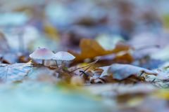 Macro of small uneatable mushrooms growing in autumn forest Royalty Free Stock Image
