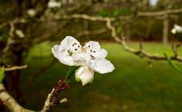 Macro of a small white flower growing on a tree branch. Close up of a small white flower blooming on a tree branch in spring Stock Image