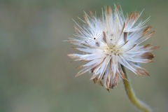Macro small wild grass flower Royalty Free Stock Images