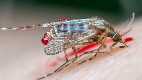 Macro of smashed mosquito (Aedes aegypti) to died Royalty Free Stock Image