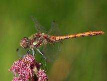 Macro of a smiling heath dragonfly on a flower royalty free stock images