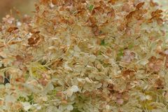 Macro of a smooth Hydrangea arborescens white flowers at summer garden Royalty Free Stock Photo